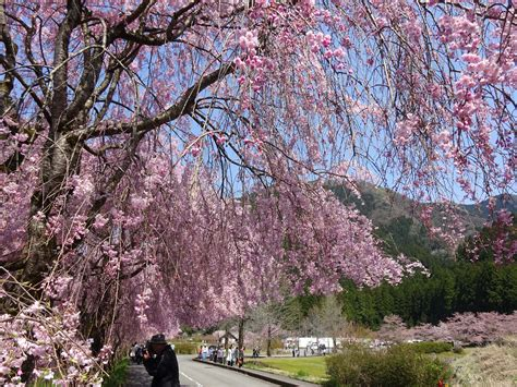 1 cherry tree medowie weeping cherry blossom that attract 70 000people fukuitravel 福井 旅行情報