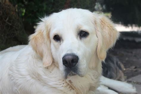 golden retriever for sale golden retriever for sale stowmarket suffolk pets4homes