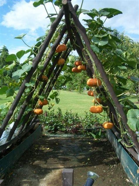 grow pumpkins   fence vegetable garden plants