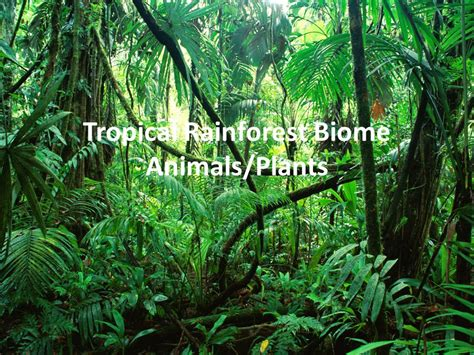 dominant plants in tropical rainforest tropical rainforest biome animals