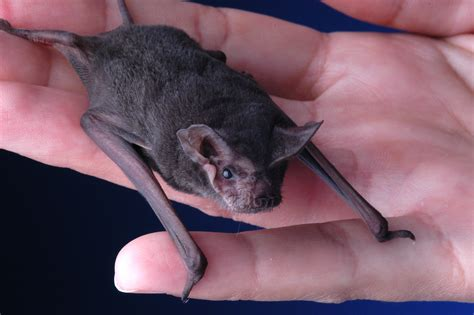 bat in house merry christmas it s a bat house announce university of nebraska lincoln
