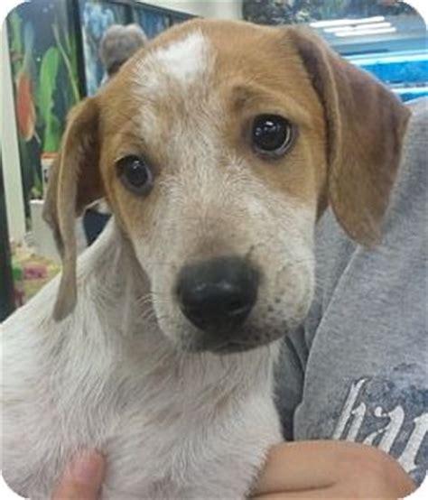 beagle puppies in orlando finn adopted puppy finn orlando fl beagle cattle mix