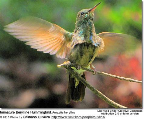 berylline hummingbirds amazilia beryllina