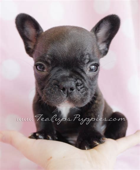 frenchie puppy frenchie puppy frenchie
