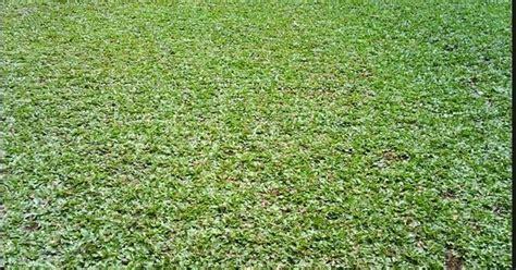 Bibit Rumput Gajah Mini jual tanaman rumput gajah mini