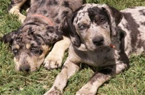 labahoula puppies breeds petguide