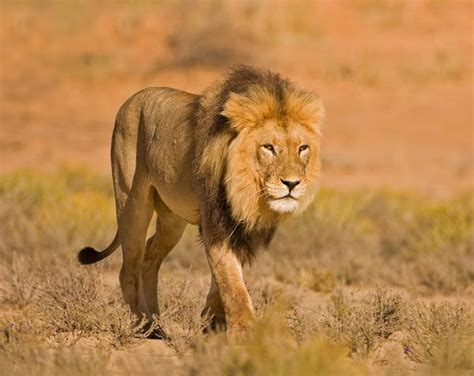 Of Lions scientific name of
