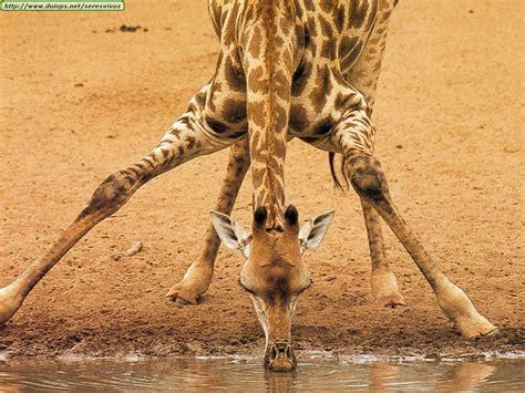 jirafas imagenes lindas fotos de jirafas