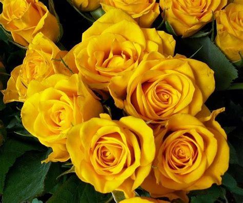 Samuel Flores Cu 225 L Es El Significado De Las Rosas Amarillas 4 Pasos