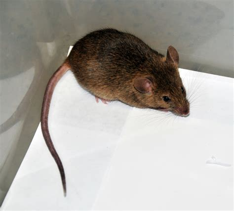 house rat house mouse vector control services
