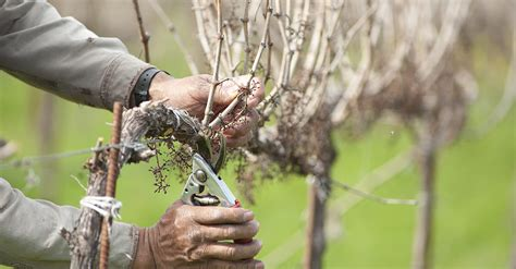 pruning vines in the spring is vital to ensuring a