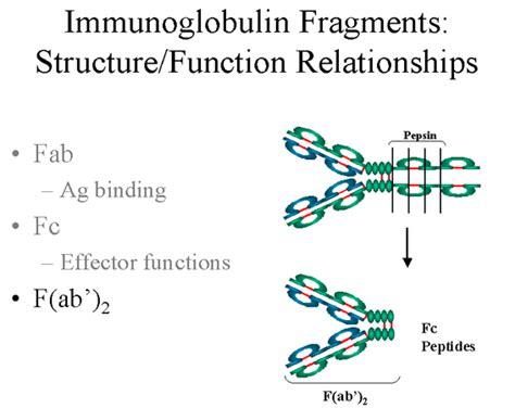 j protein immunoglobulins immunoglobulins structure and function