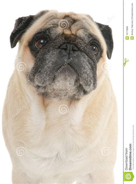 average cost of a pug puppy white pug puppy breeds picture