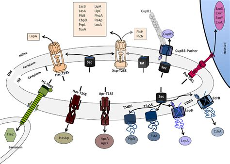 protein of pseudomonas frontiers protein secretion systems in pseudomonas