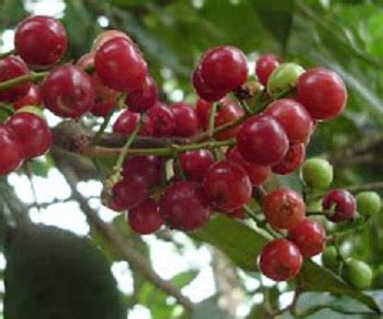 Bibit Daun Salam bibit buah salam