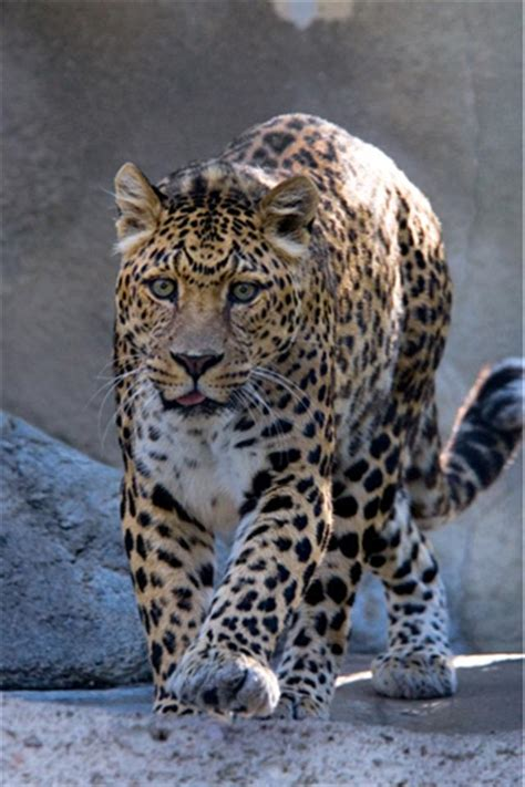 wallpaper iphone 5 leopard spotted leopard animal iphone wallpapers iphone 5 s 4 s