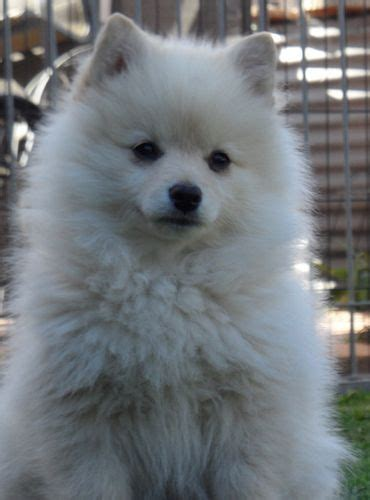 are pomeranians prone to seizures best 25 german spitz ideas on teddy pomeranian pomeranian for