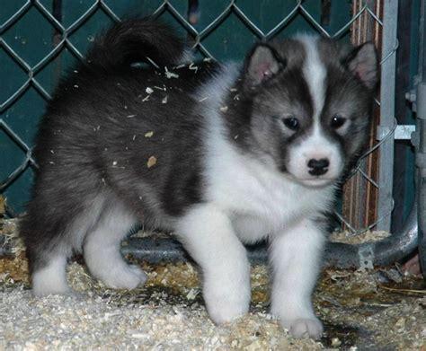 alaskan eskimo puppy arcticice qimmiq canadian eskimo dogs alaskan malamutes wolfwalker siberian huskies