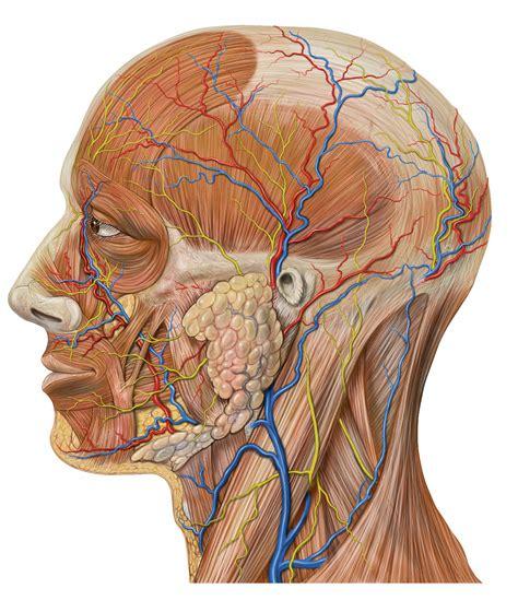 diagram of salivary glands parotid diagrams image radiopaedia org