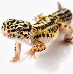 Alas Kandang Reptil cara memelihara dan merawat gecko drh fira sovica