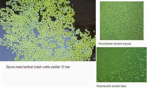 Jual Bibit Azolla Microphylla Di Medan bibit azolla medan