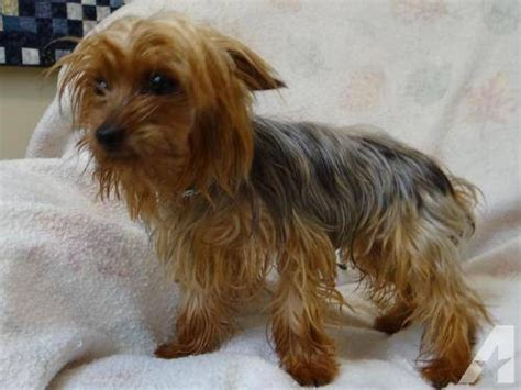 price of yorkie puppies without papers 2 yorkie puppies for sale in apple river illinois classified