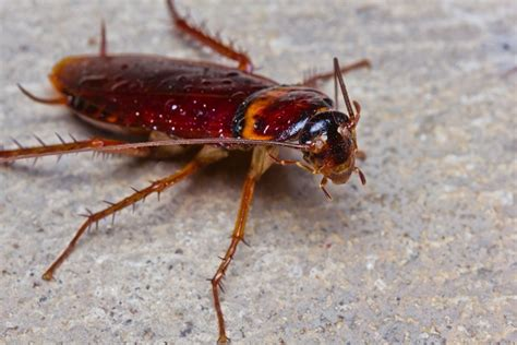 home remedies for killing roaches pest seva
