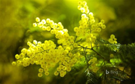 yellow mimosa flowers france  bing wallpaper preview