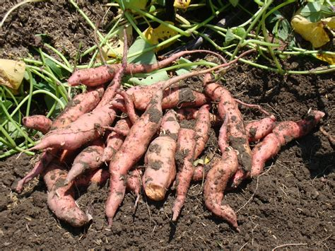are sweet potatoes a root vegetable waiting on the rainy season an echo asia orange