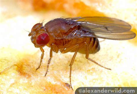fruit flies esciencecommons fruit flies their to drink