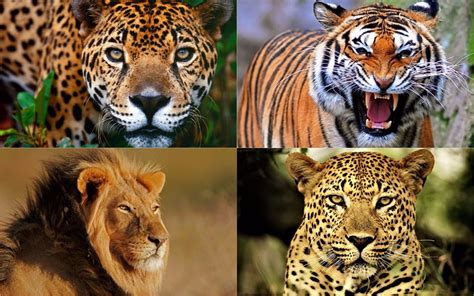 imagenes de tigres leones y leopardos 191 cu 225 nto tienen en com 250 n el yaguaret 233 el tigre el le 243 n y