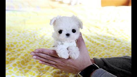 lil puppies tiny puppies