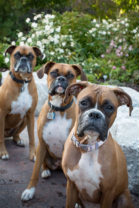 grey boxer puppies gray boxer www imgkid the image kid has it