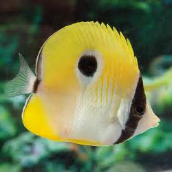 Plant Decorations Home teardrop butterflyfish chaetodon unimaculatus petsolutions