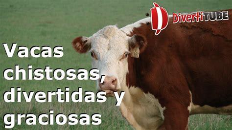 imagenes graciosas vacas videos de risa de vacas 85 fotos de vacas graciosas