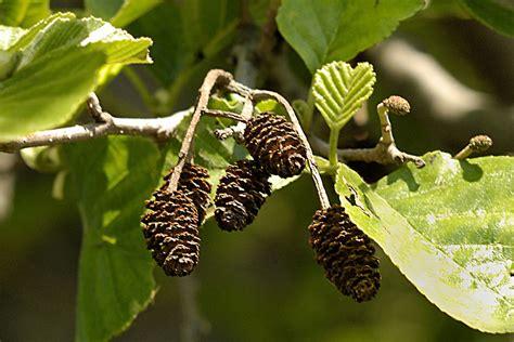 fruit d aulne aulne glutineux aulne d 233 couvrir nos arbres arbres