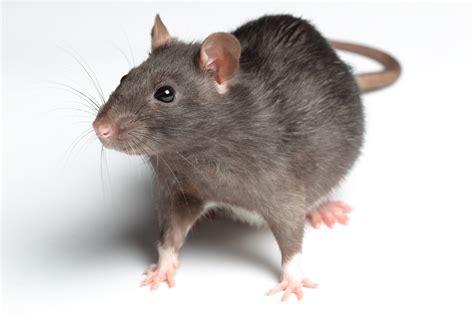 membuat perangkap tikus tradisional tips cara uh membasmi dan mengusir tikus di dalam rumah