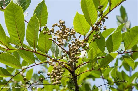 poison sumac the poison ivy poison oak poison sumac site