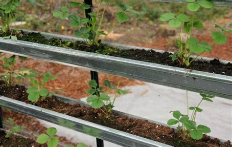Gutter Strawberry Planter by Growing Vegetables In A Greenhouse Spinach Lettuce