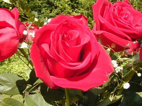 gambar bunga mawar kuning  bagus blog teraktual