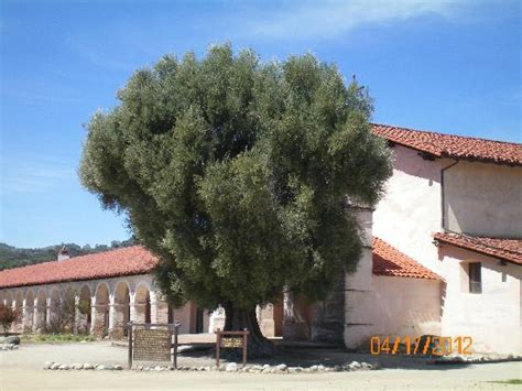 olive tree planted 1836 by padres picture of mission san