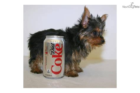 3 lb yorkie terrier yorkie puppy for sale near columbus ohio bbcadf0a 4411