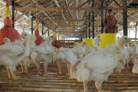 Harga Jagung Pakan Ternak Hari Ini naiknya harga jagung tak pengaruhi harga ayam di lung