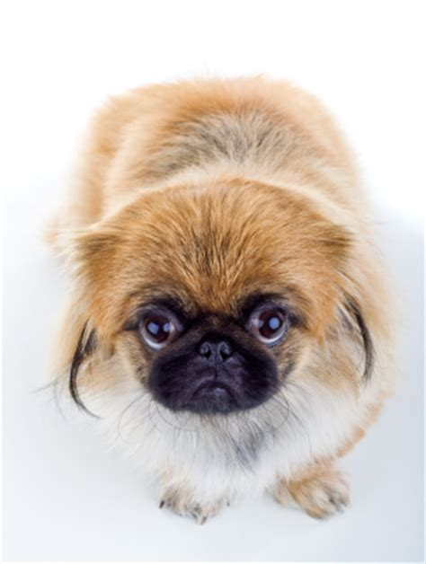 do dogs baby teeth do dogs baby teeth more about your pekingese s dental facts