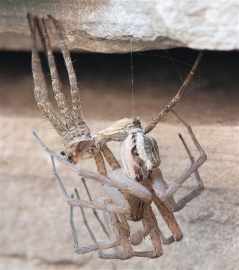 how to get your to mate with you fishing spider molting or mating what s that bug
