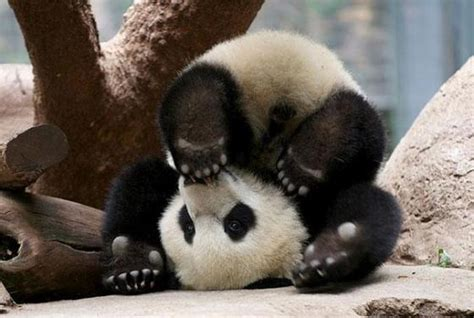 imagenes de osos navideños oso panda
