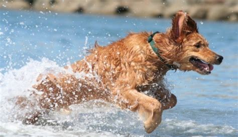 water in dogs ears swimming stuff how to remove water in dogs ears herepup