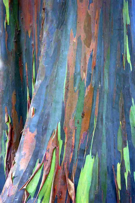 rainbow eucalyptus eucalyptus deglupta seeds rainbow tree rainbow gum rare