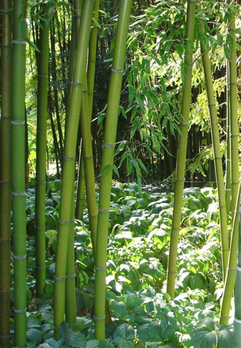 bambusarten für den garten 58 welche unterschiedlichen bambushalme gibt es bambus