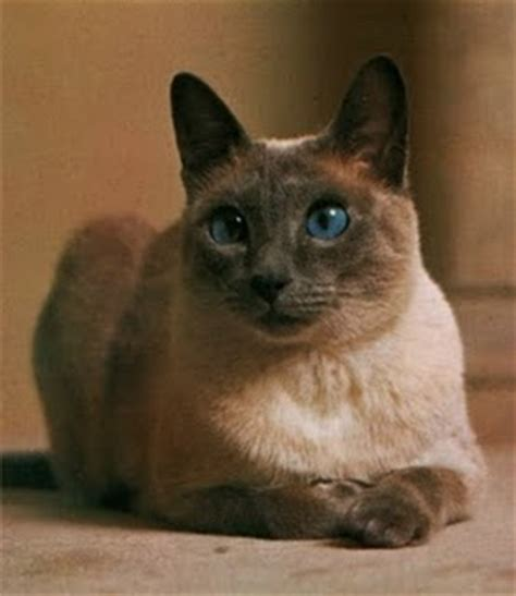 8 Reasons To Get A Siamese Cat by Siamese Kittens Animals Wiki Pictures Stories